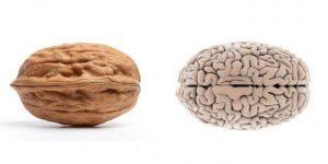 aliments-organes-cerveau-noix
